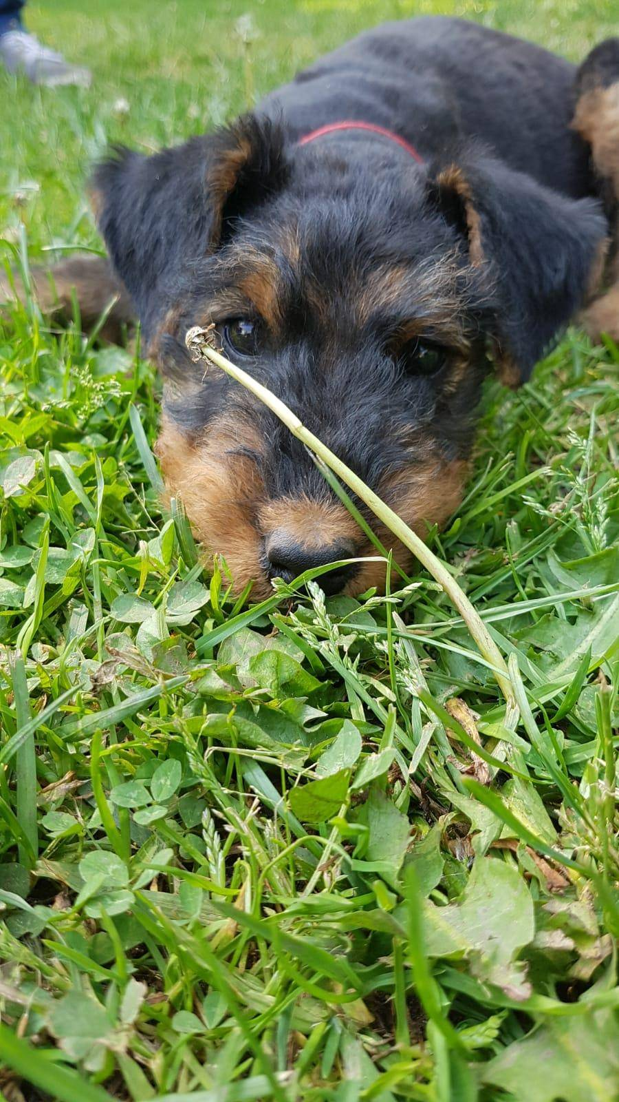 Airedale Terrier Black and Tan